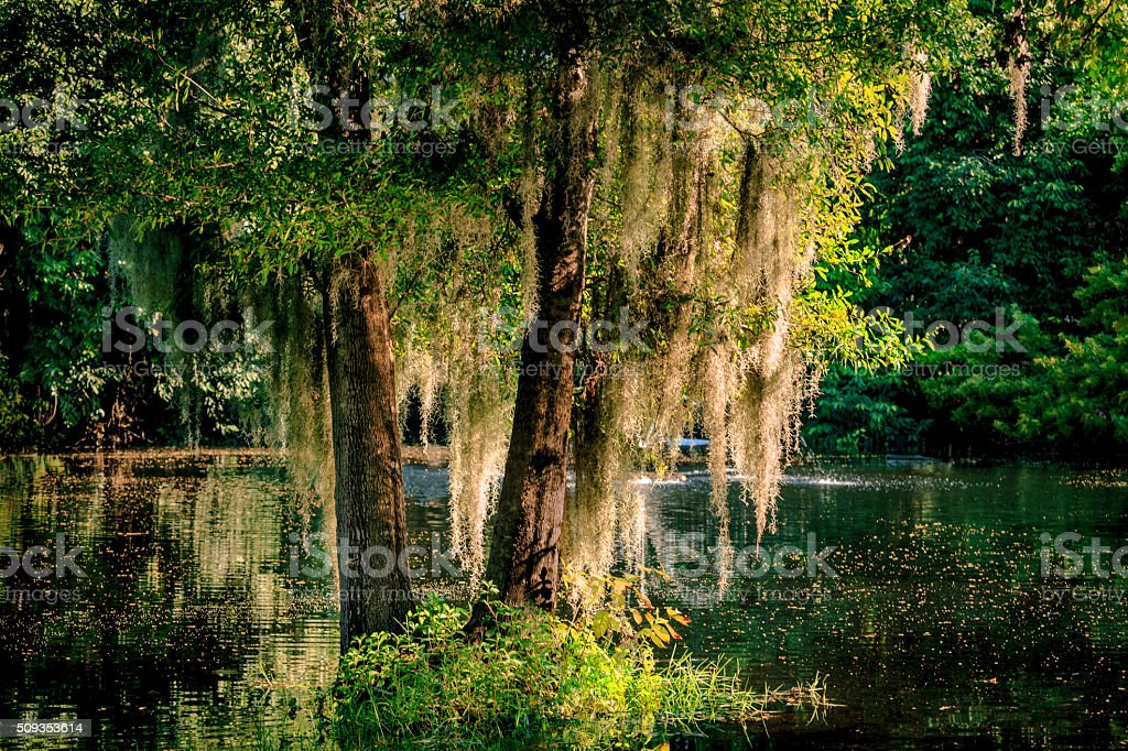 Sunset in the Tropics; Spanish Moss in the Swamp stock photo