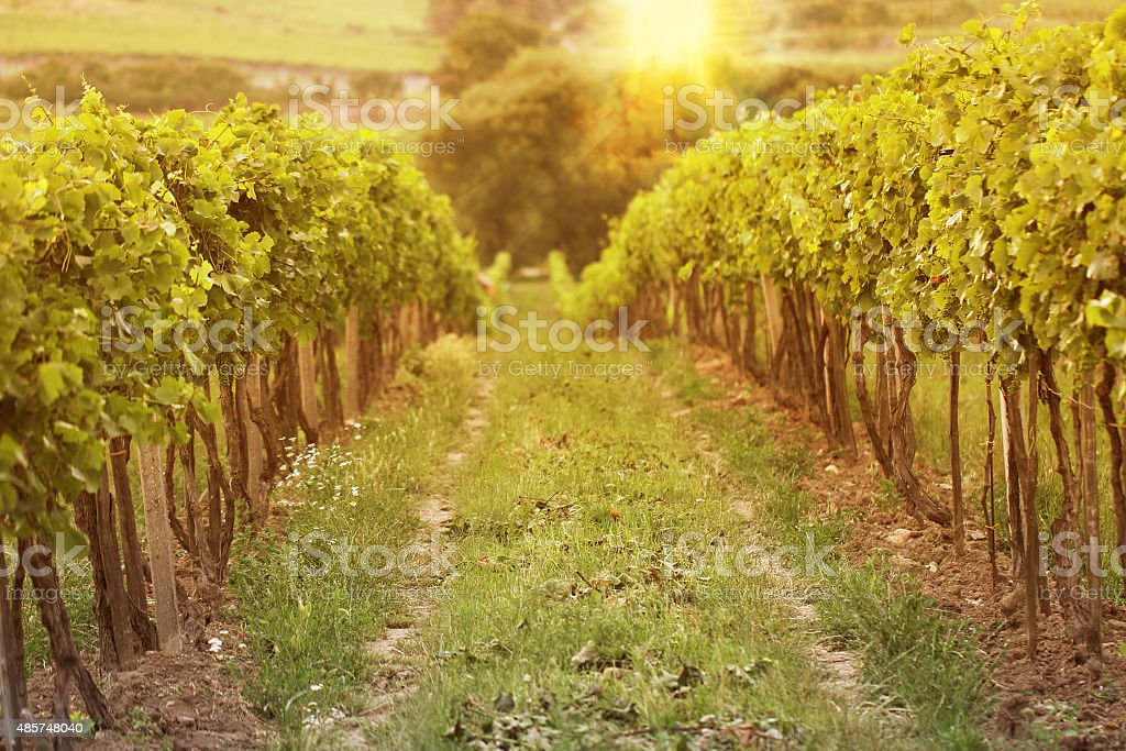 sunset in vineyards stock photo