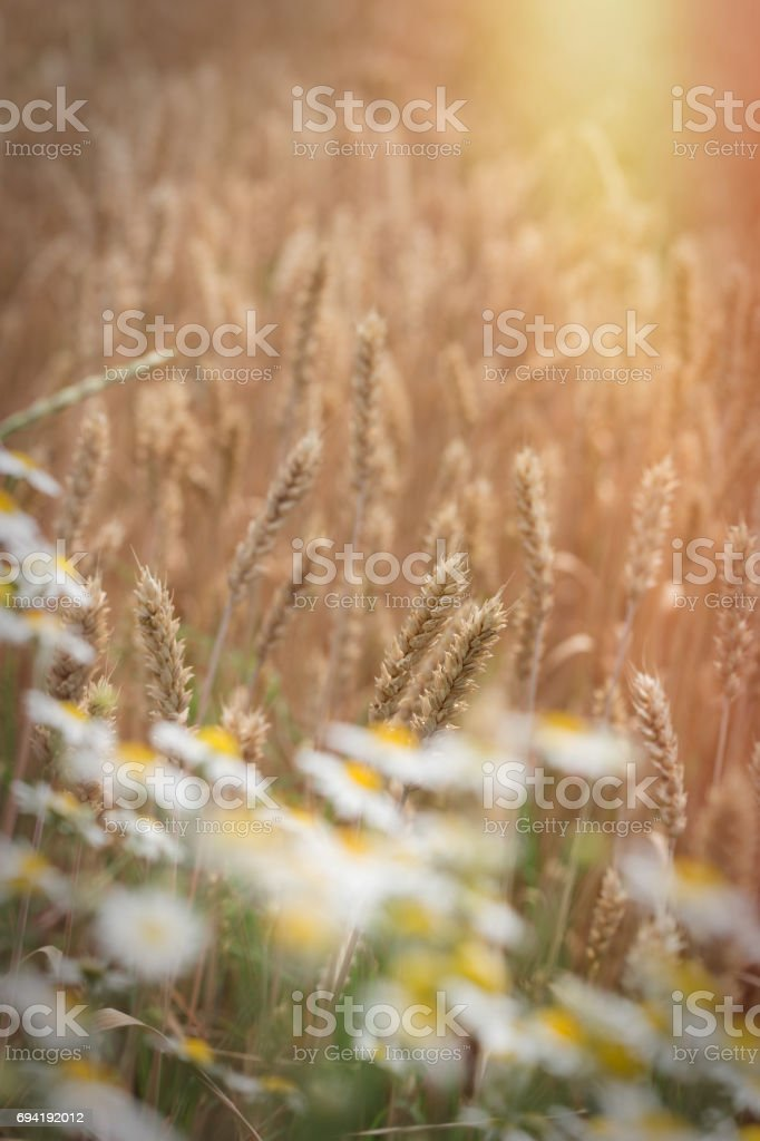 Sunset in wheat field, late afternoon in agricultural field and daisy flower stock photo