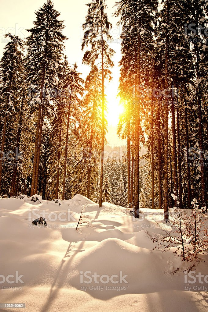 Sunset in Winter Forest royalty-free stock photo