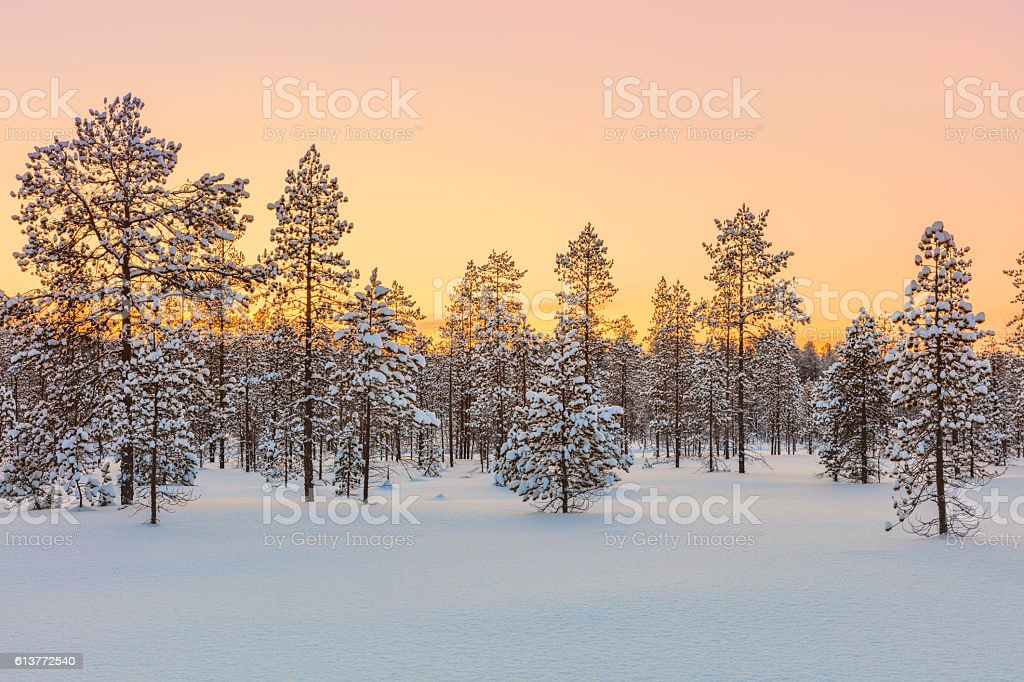 Sunset in winter forest, trees and snow stock photo