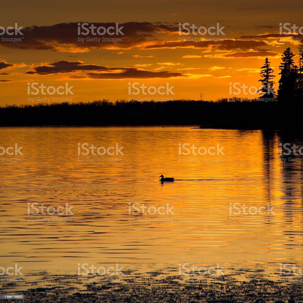 Sunset Loon stock photo