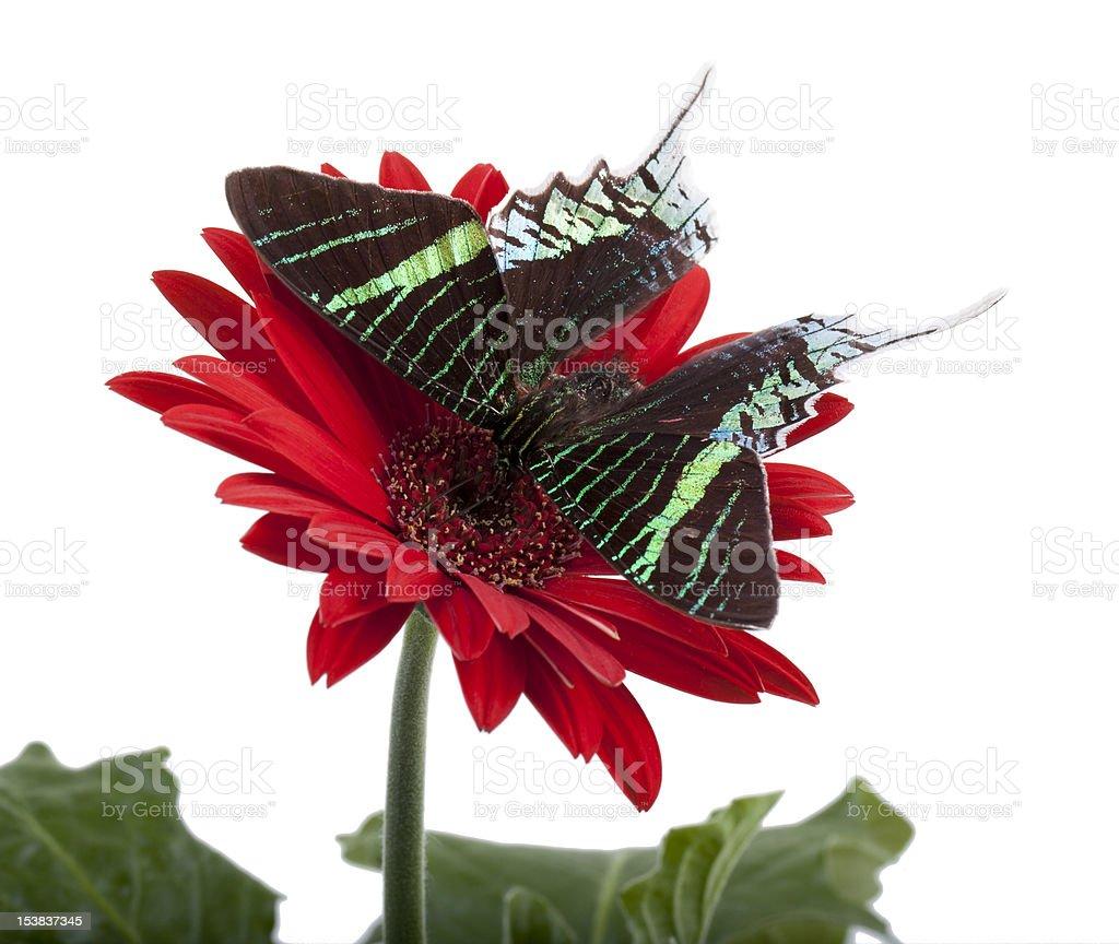 Sunset Moth (Urania Leilus) royalty-free stock photo