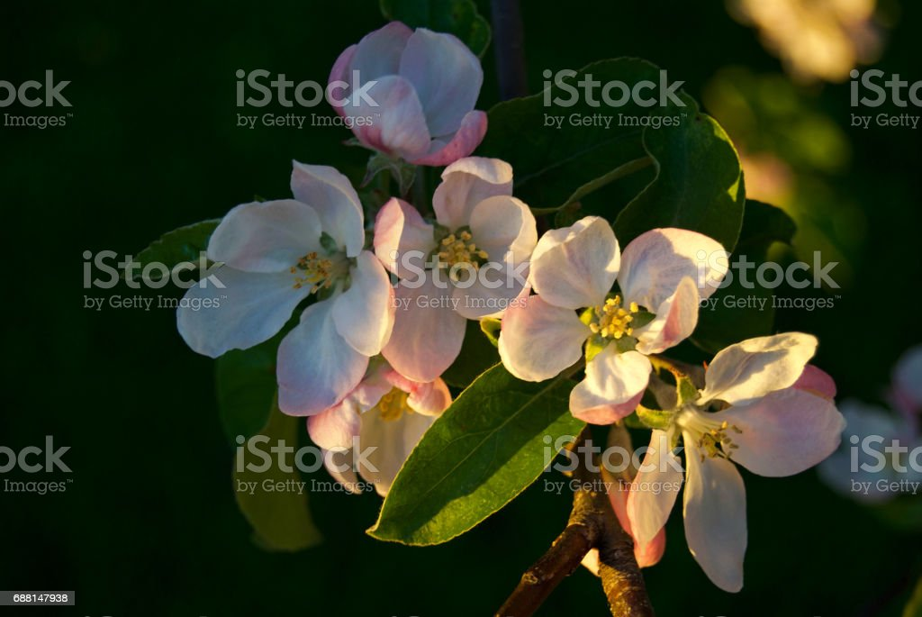 Sunset on a Blossom stock photo