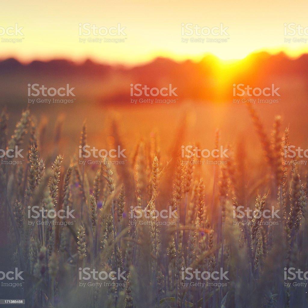 Sunset on grainfield royalty-free stock photo