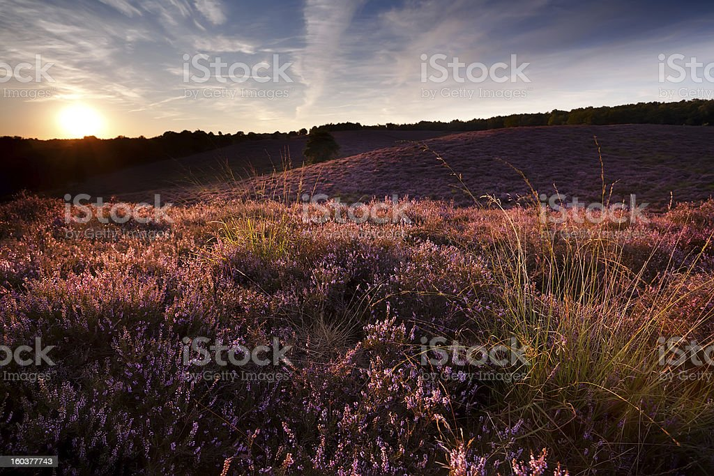 sunset on hill covered with heather royalty-free stock photo
