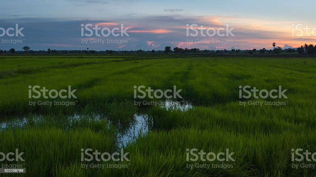 Sunset on rice field royalty-free stock photo