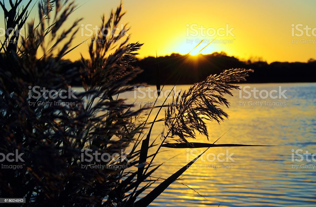 Sunset on the lake. Reed against the yellow sunset. stock photo