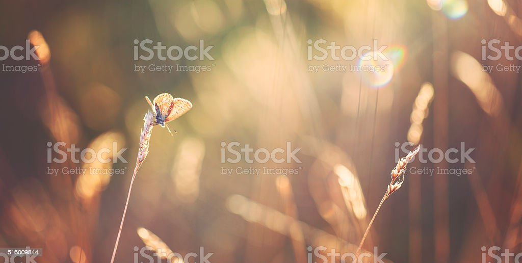Sunset on the meadow with butterfly stock photo