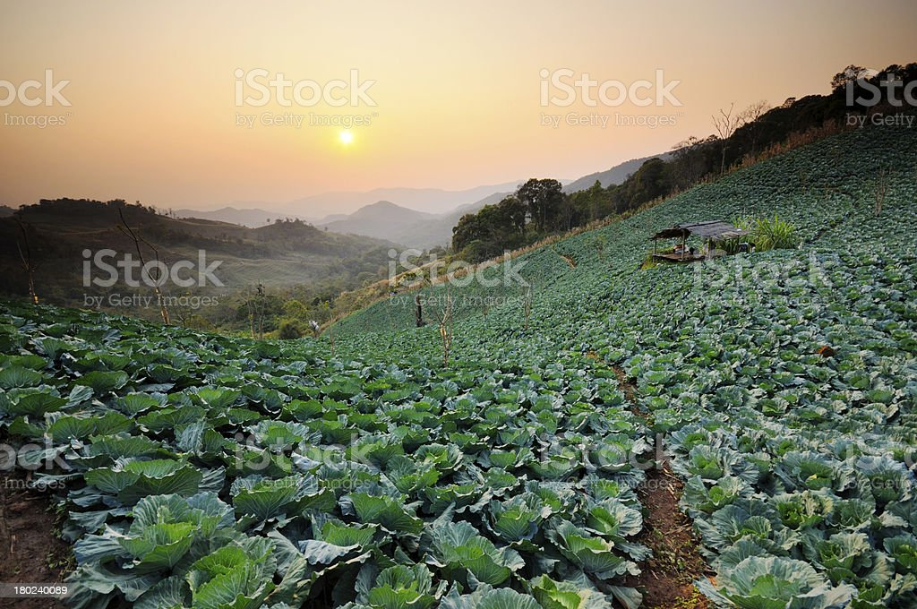 Sunset over a field of cabbage. royalty-free stock photo