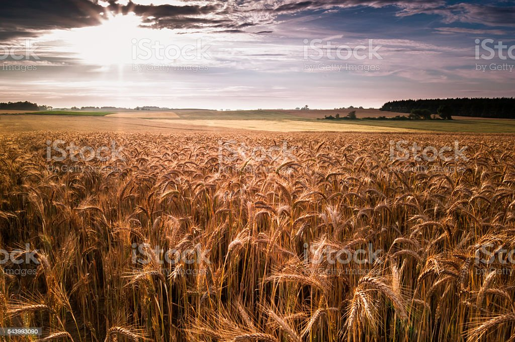 Sunset over a field of rye stock photo