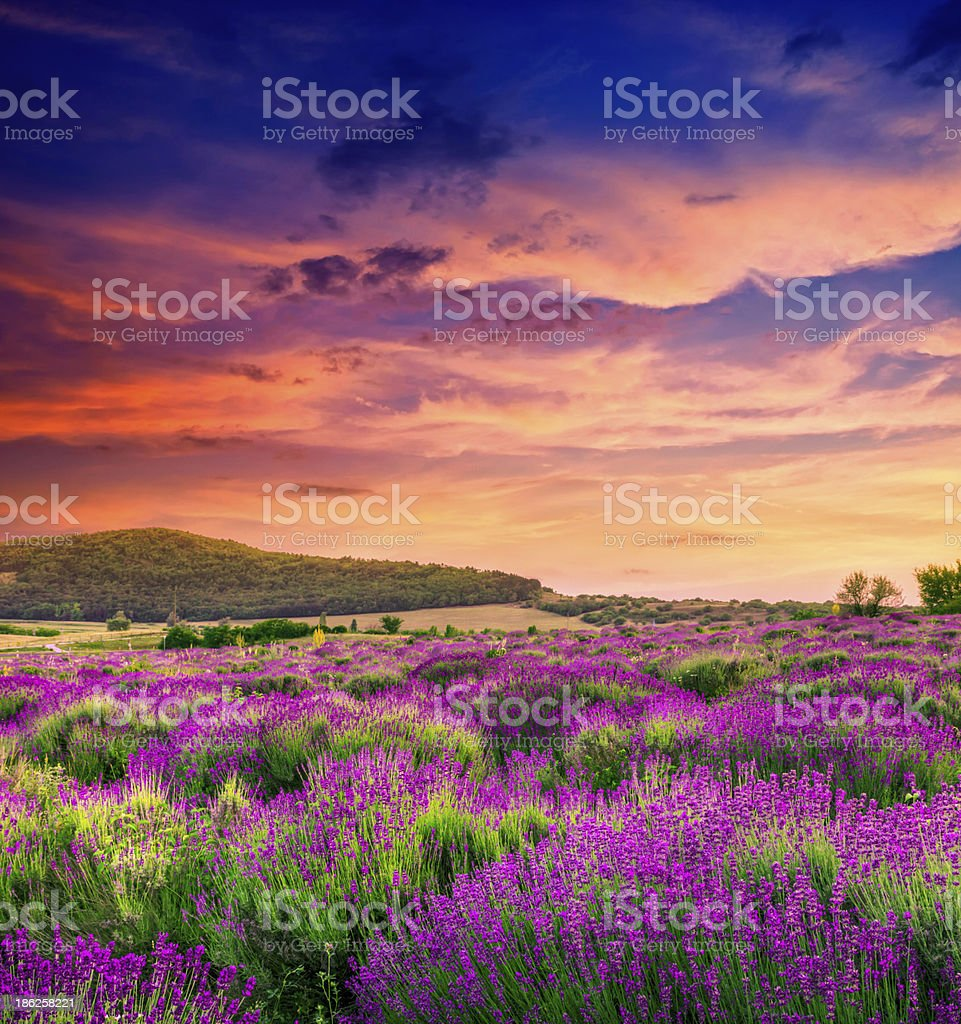 Sunset over a summer lavender field stock photo