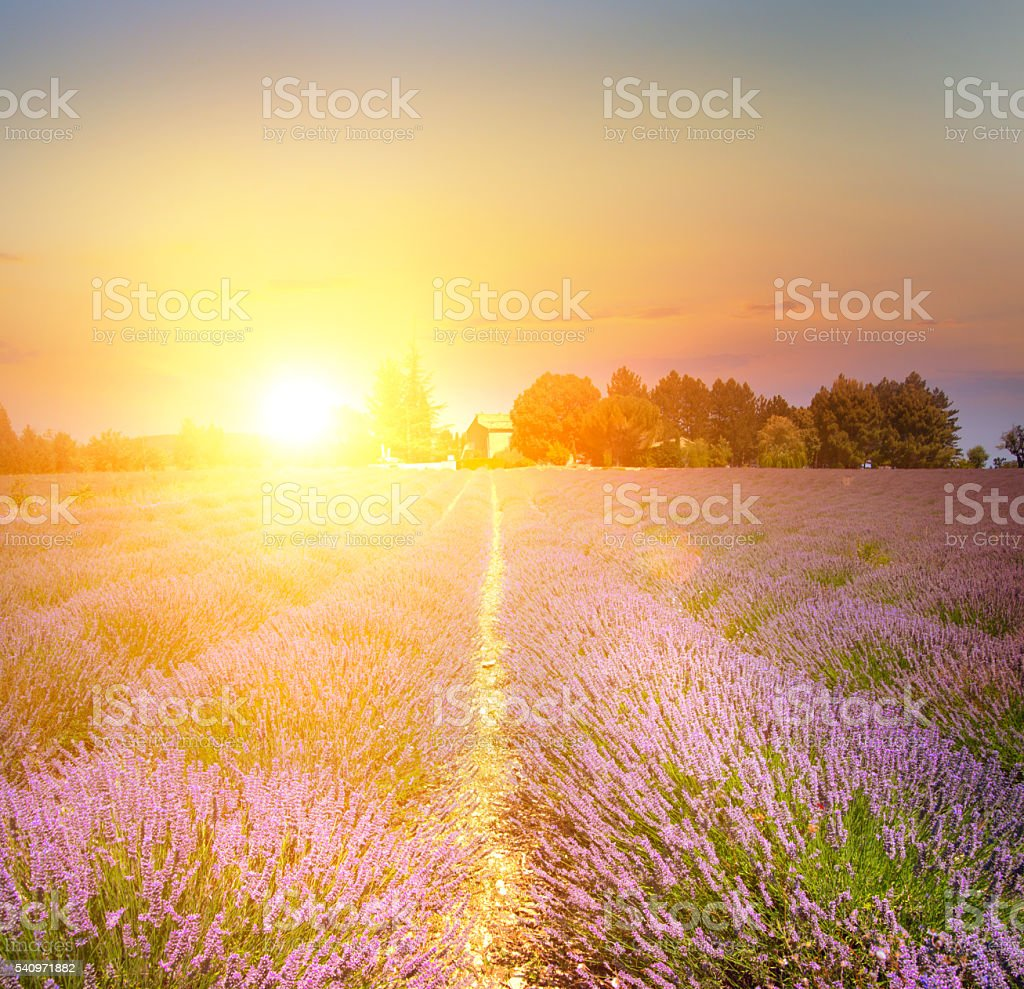 Sunset over a violet. stock photo