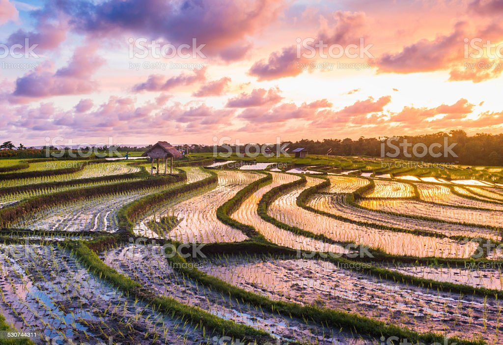 Sunset Over Bali Indonesia Rice Fields stock photo
