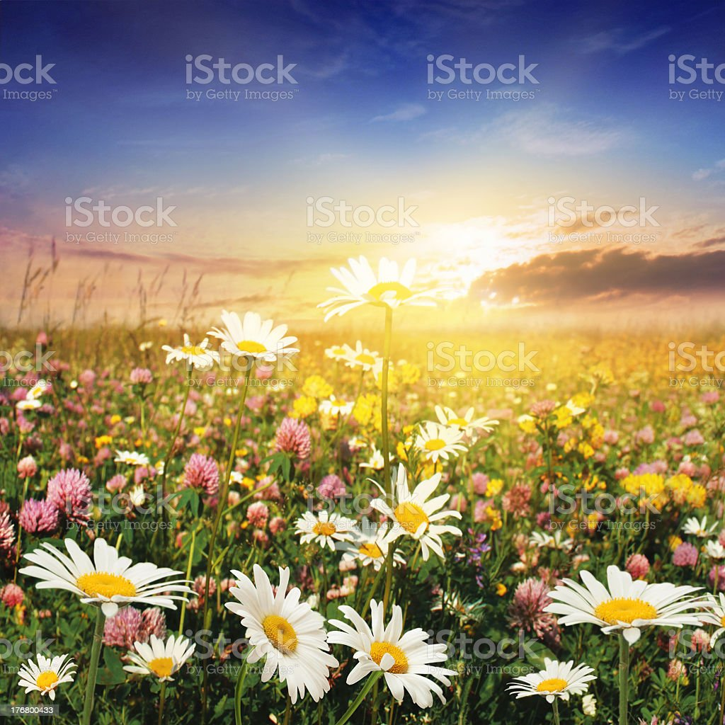 Sunset over field of clover and daisies stock photo