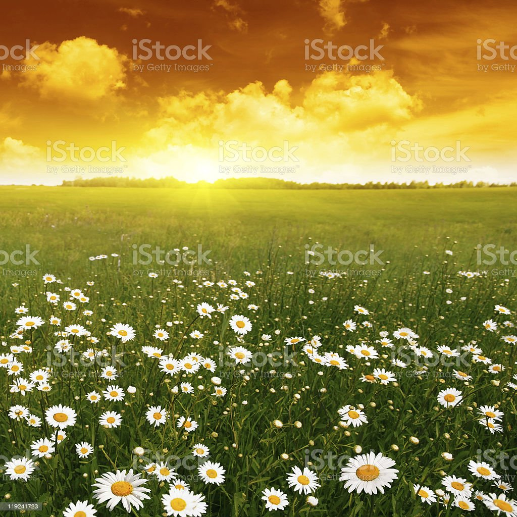 Sunset over flower field. royalty-free stock photo