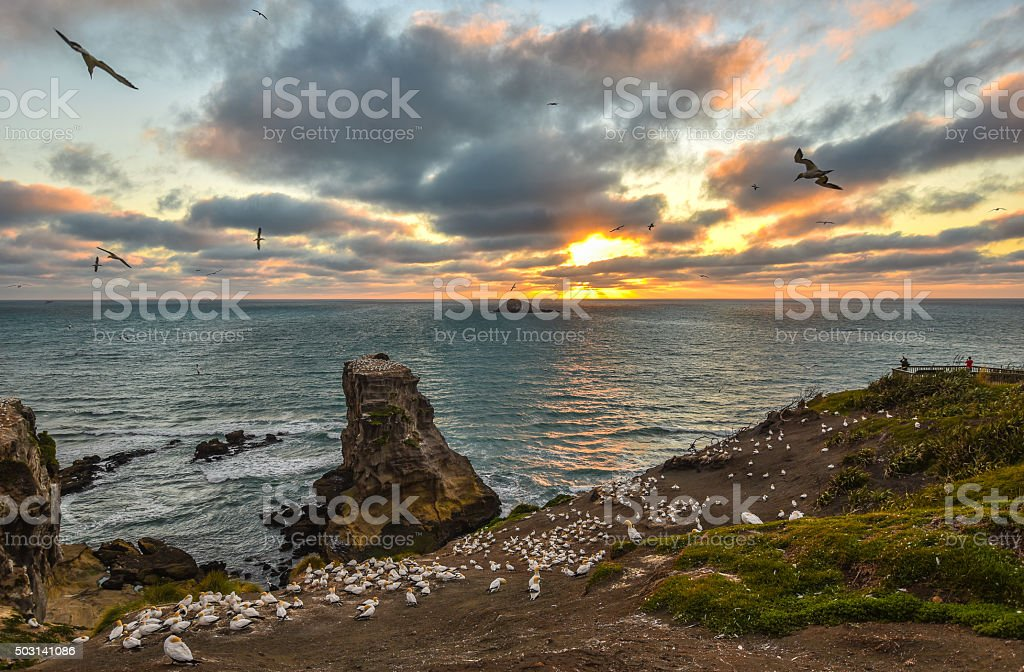 Sunset over Gannet colony at Muriwai Beach, New Zealand stock photo