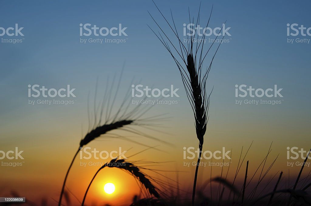 sunset over harvest royalty-free stock photo