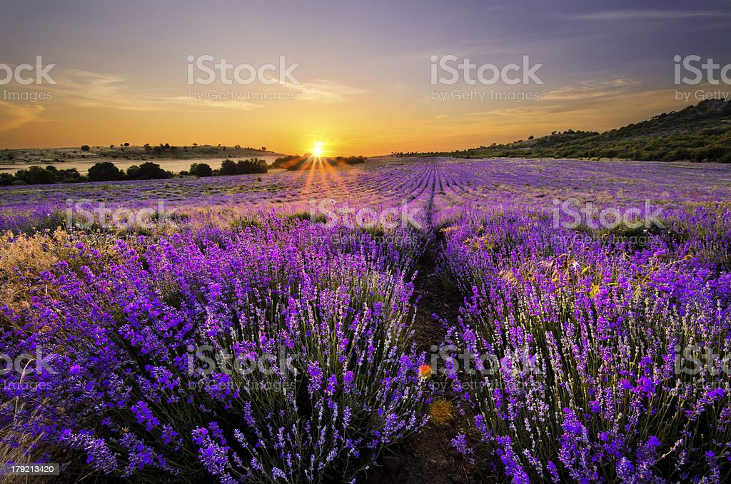 Sunset over lavender field royalty-free stock photo