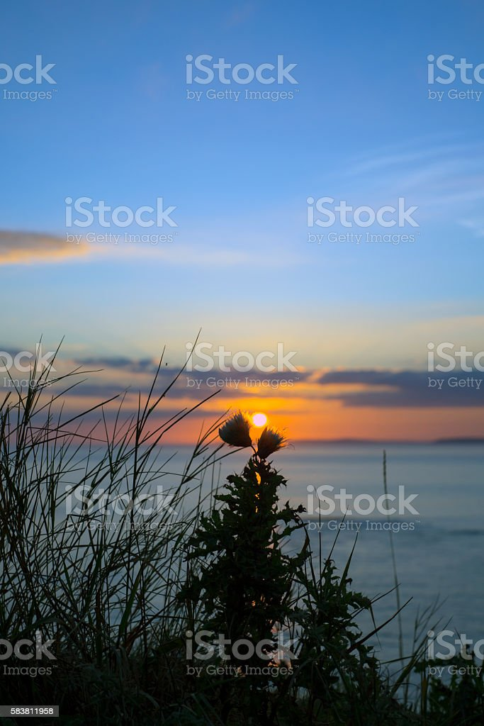 sunset over loop head with silhouetted wild tall thistles stock photo