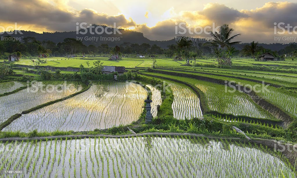 Sunset over Paddy Fields in Bali stock photo