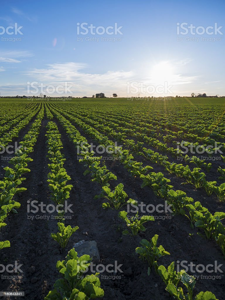 Sunset over summer crops royalty-free stock photo