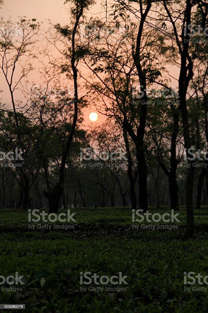 Sunset over Tea Plantage stock photo