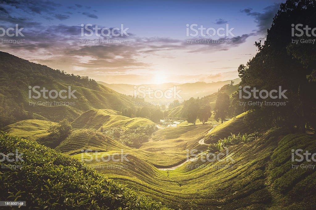 Sunset over tea plantation in Malaysia stock photo