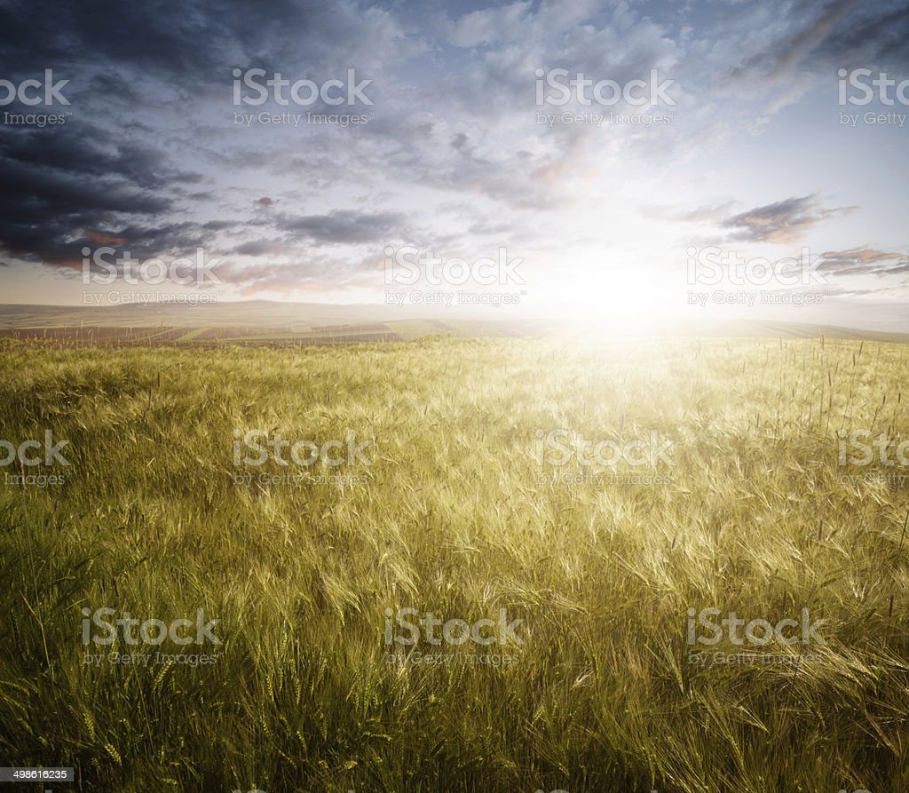 sunset over the wheat field stock photo