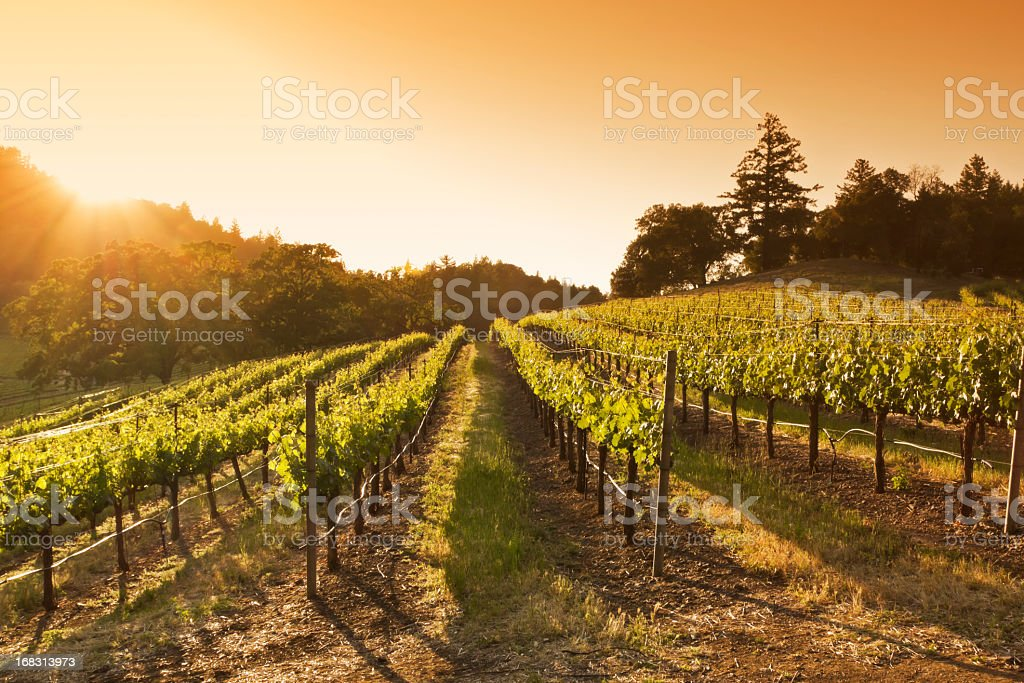 Sunset over vineyard stock photo