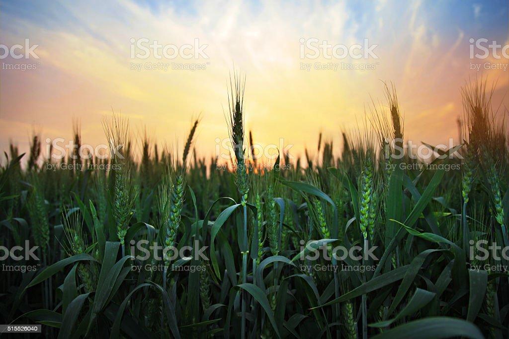 Sunset over wheat farm stock photo
