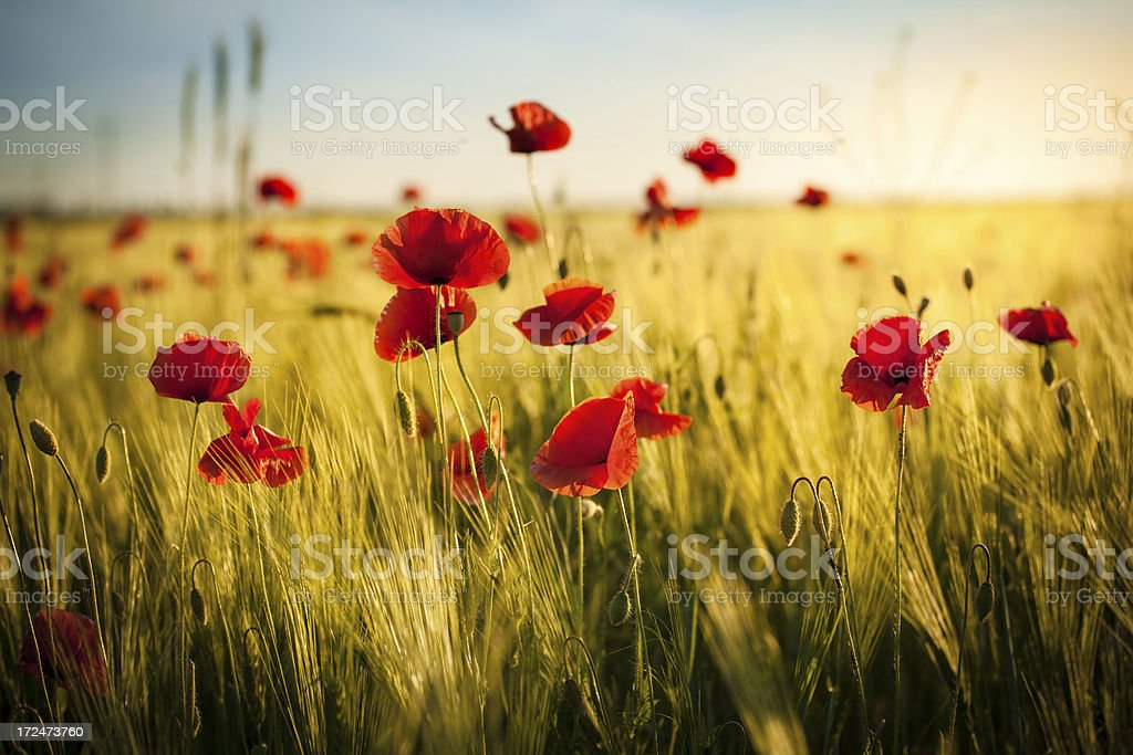 Sunset over Wheat Field and Red Poppies - Spring Meadow stock photo