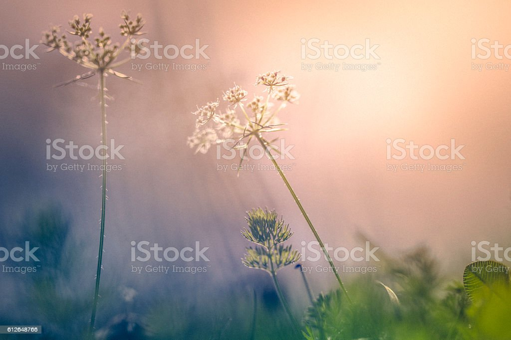 Sunset over wildflowers in the field stock photo