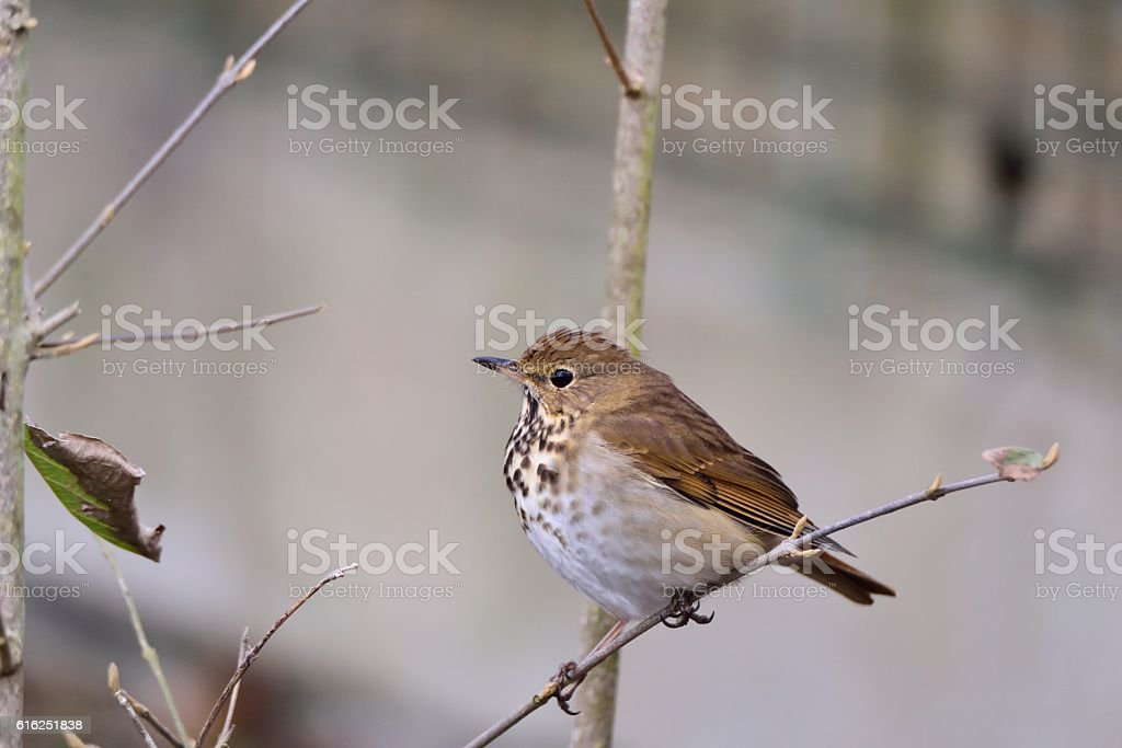 Sunset Park Hermit Thrush stock photo