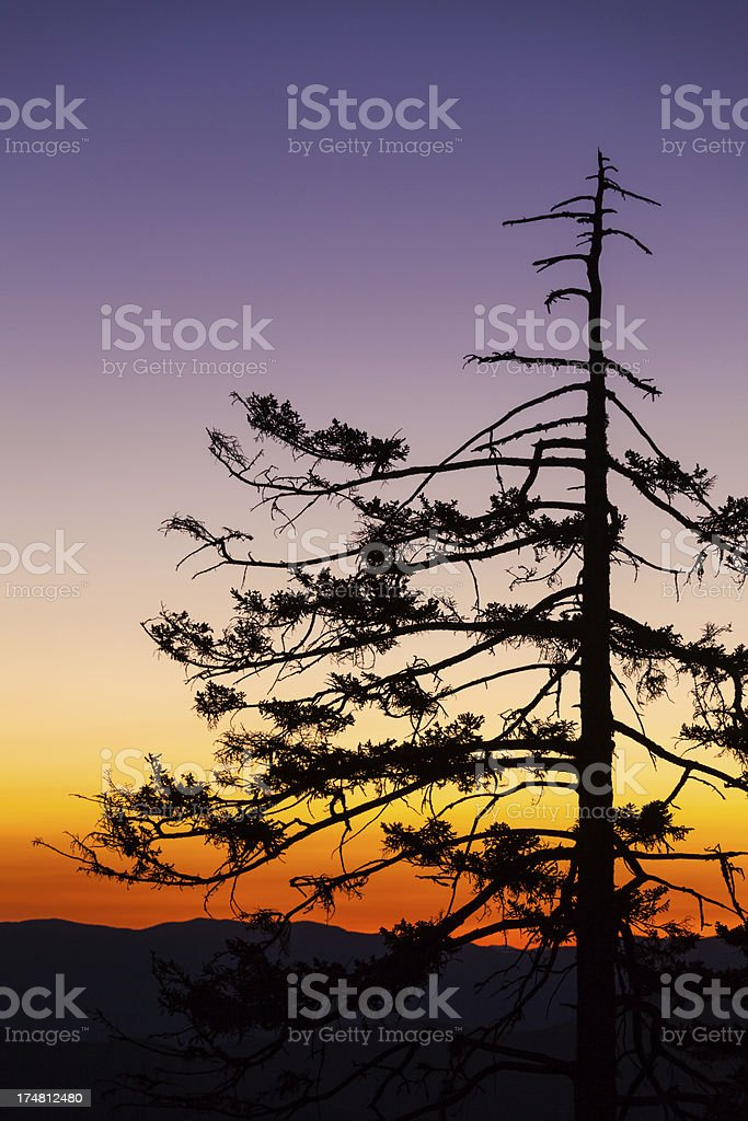Sunset Pine royalty-free stock photo
