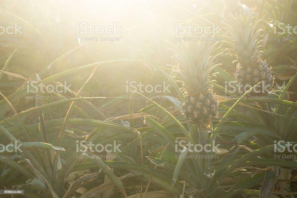 Sunset pineapples stock photo