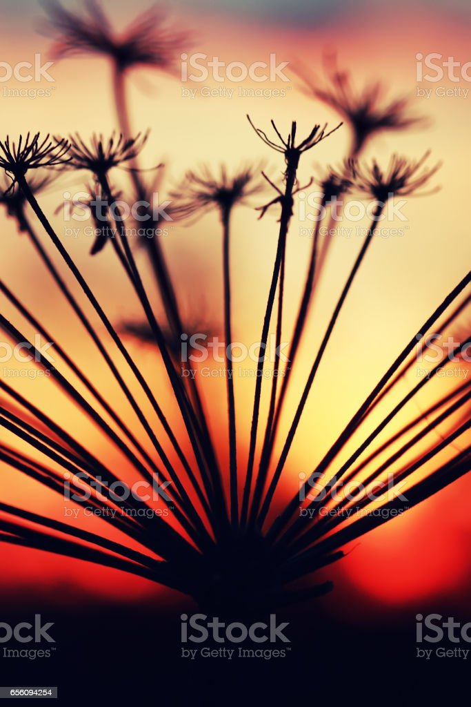 sunset plant branch summer stock photo