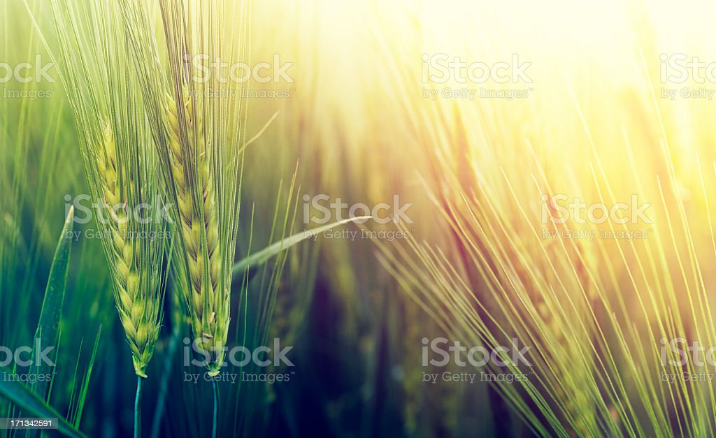 Sunset retro wheat stock photo