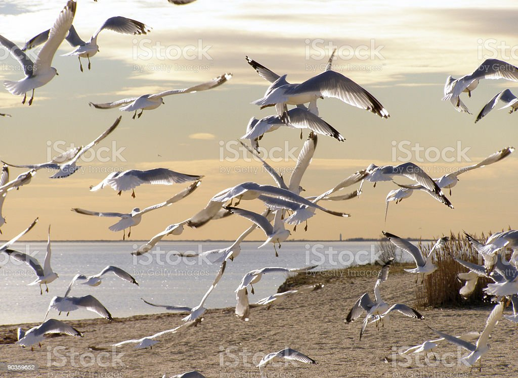 Sunset Seagulls royalty-free stock photo