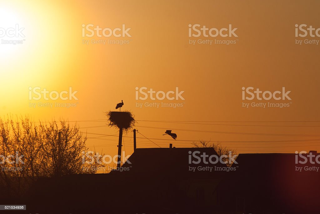 Sunset silhouettes of the white stork, stock photo