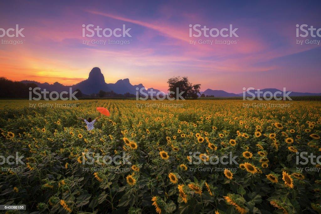 Sunset sunflower field stock photo