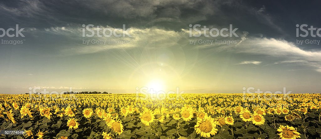 Sunset Sunflowers stock photo