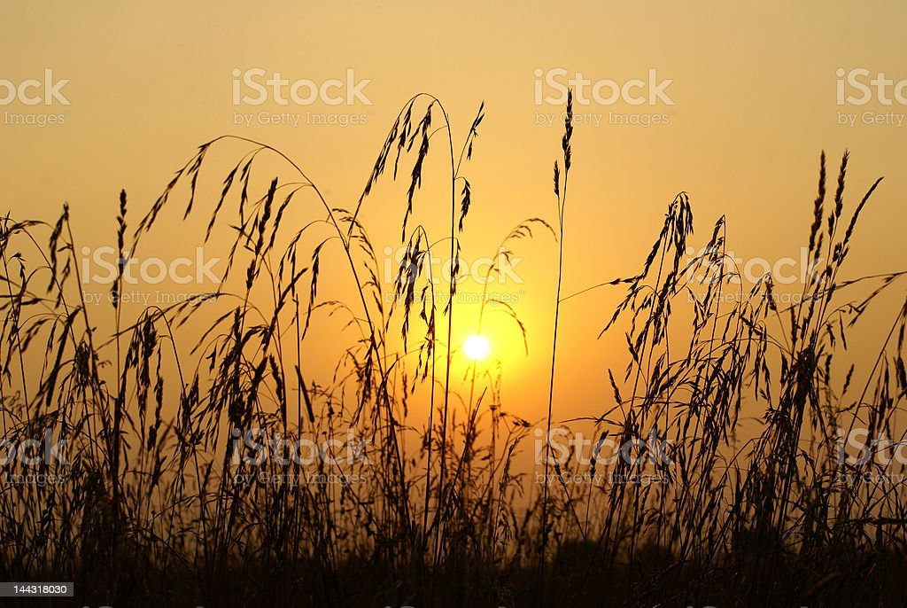 Sunset through a grass royalty-free stock photo