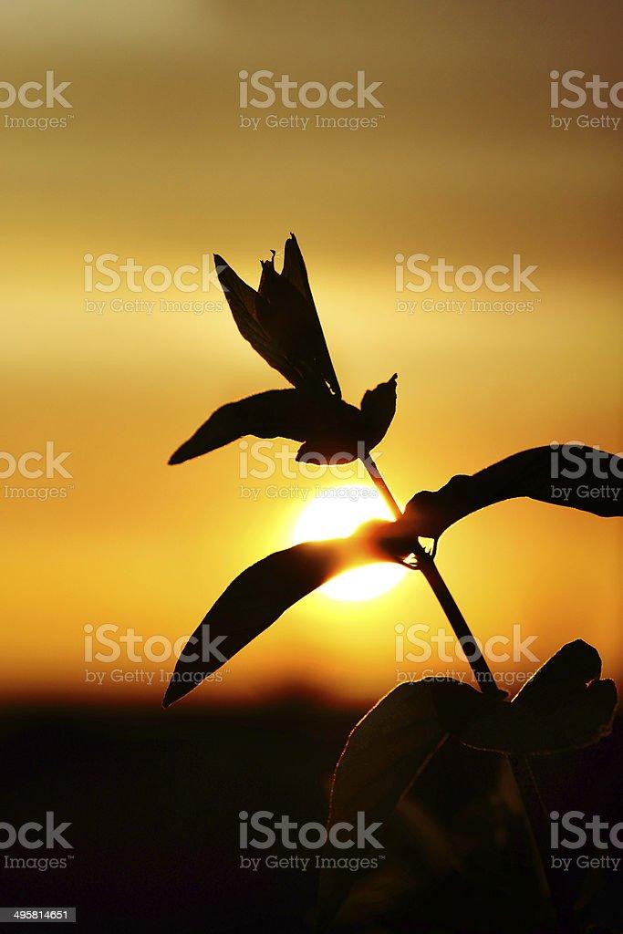 Sunset through branche Honeysuckle leaf royalty-free stock photo