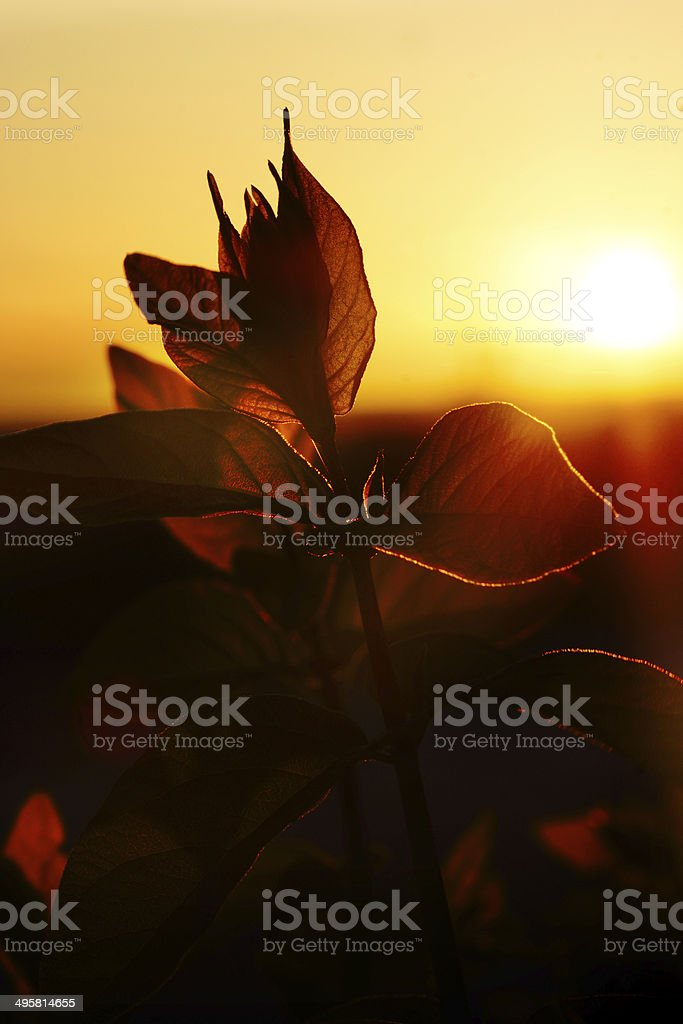 Sunset through branche Honeysuckle leaf royalty-free stock photo
