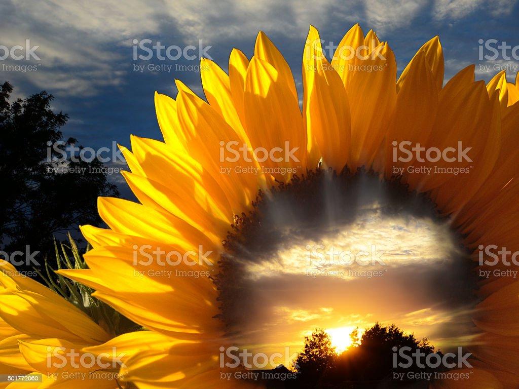 Sunset Through Sunflower - Worlds Within Worlds stock photo