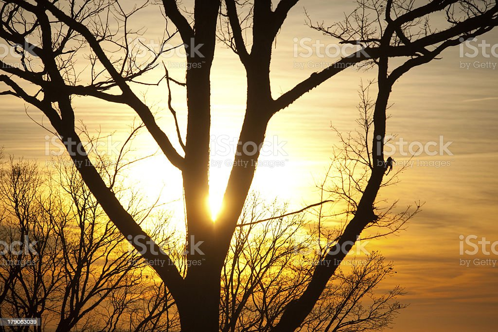 sunset through trees royalty-free stock photo