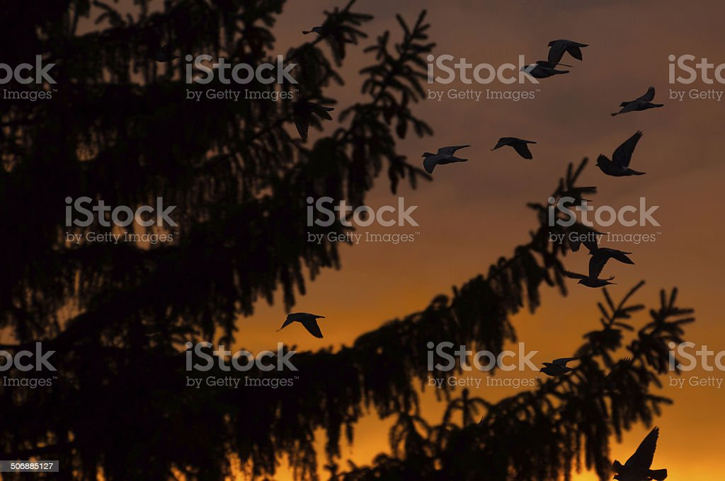 sunset view of a fir tree and birds flying royalty-free stock photo