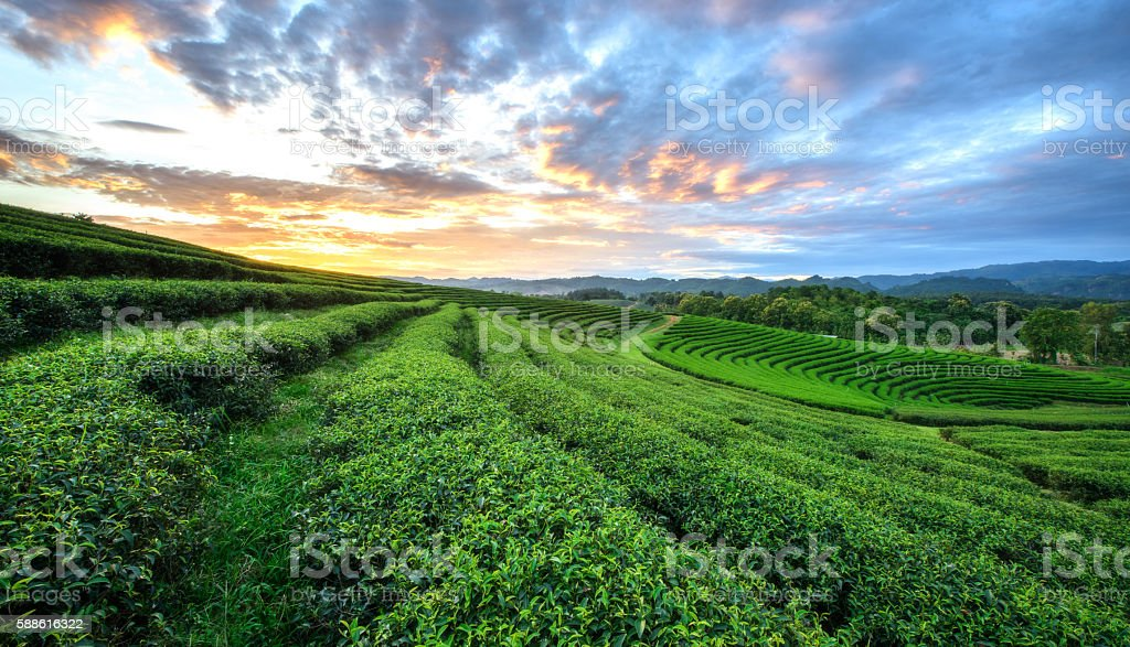 Sunset view of tea plantation landscape stock photo