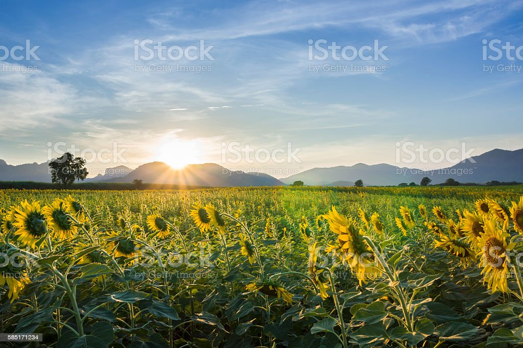 sunset view with sunflower field in Lopburi , Thailand stock photo